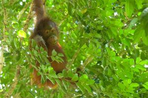 Orangutan (female), Kinabatangan River
