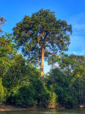 Avatar tree, Kinabatangan River