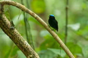 Blue-crowned manakin, Corcovado National Park