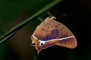 Sleeping butterly, La Selva Biological Station