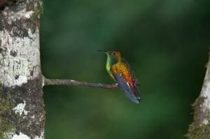 Coppery-crowned emerald, Monteverde National Park