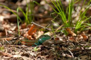 Deppi's whiptail, Guanacaste