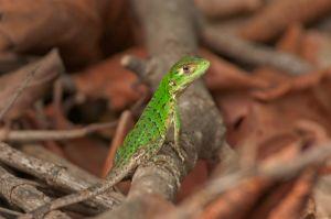 Young green iguana, Guanacaste