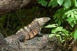 Ctenosaur, Guanacaste