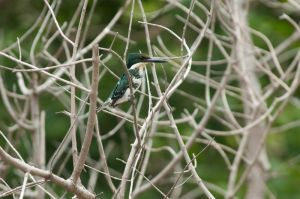 Green kingfisher, Palo Verde National Park