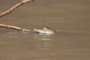 American crocodile, Palo Verde National Park
