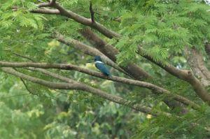 Ringed kingfisher, Palo Verde National Park