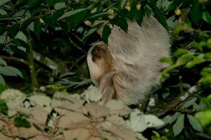 Two-toed sloth, Monteverde National Park