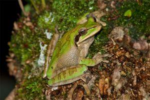Masked tree frog, Manuel Antonio