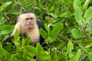 White-throated capuchin, Damas Island