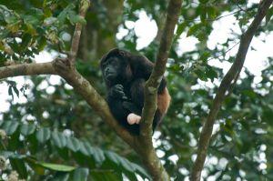 Mantled howler monkey, Manuel Antonio National Park