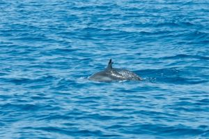 Spotted dolphins, Drake Bay