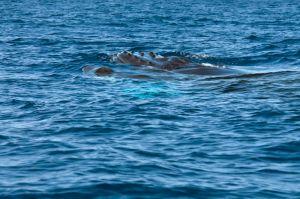 Humpback whale, Drake Bay