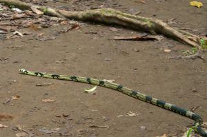 Tiger snake, Corcovado National Park