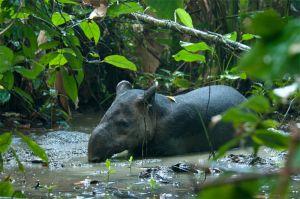 Baird's tapir, Corcovado National Park