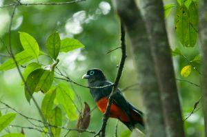 Trogon, Corcovado National Park