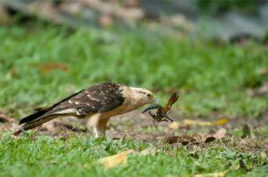Yellow caracara, Corcovado National Park