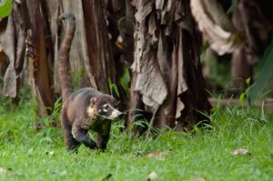 White-nosed coati, Corcovado National Park
