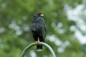 Common black hawk, Corcovado National Park