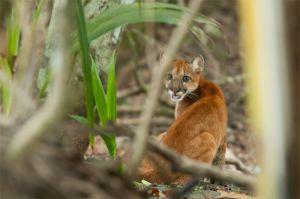 Puma cub, Corcovado National Park