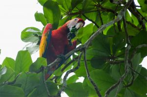 Scarlet macaw, Corcovado National Park