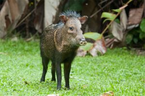 White-collared peccary, Corcovado National Park