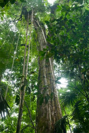 Old growth forest, Corcovado National Park
