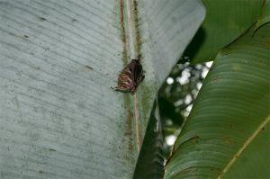 Tent-making bat, Corcovado National Park
