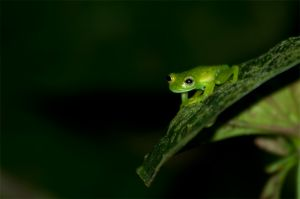 glass frog, Tirimbina Reserve