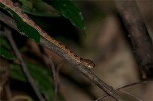 Cat snake or False Fer de lance