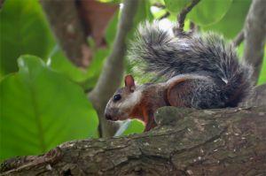 Variegated squirrel, Guanacaste