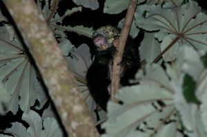 Mexican hairy dwarf porcupine,Monteverde National Park