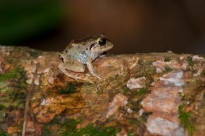 broad-headed rain frog