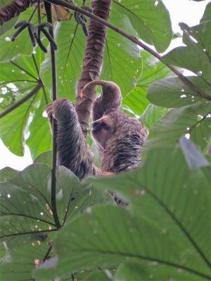 Three-toed sloth, Manuel Antonio National Park