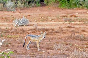 Female Black-backed jackal