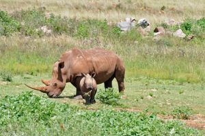 Rhino and a calf