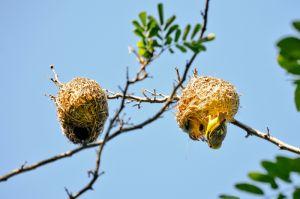 Weaver at the nest