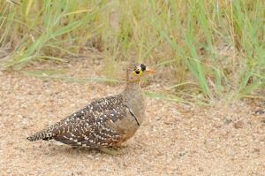 Double-barred-sandgrouse