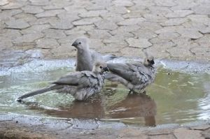 Grey-go-away-bird