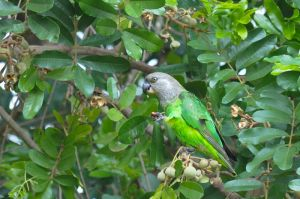 Grey-headed-parrot