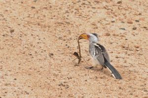 Yellow-billed hornbill and his stick-insect dinner