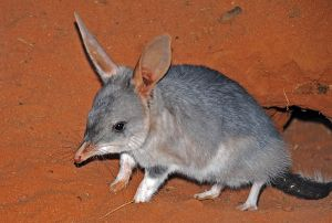 Bilby emerging from a burrow