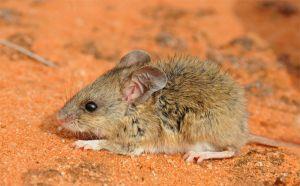 Bollam's mouse