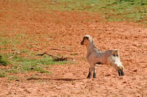 Feral goat kid