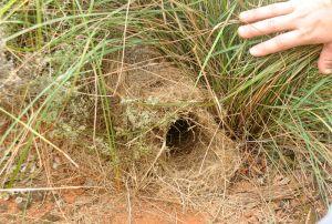 Woylie nest