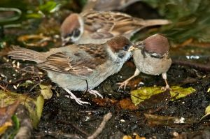 Sparrow with a chick