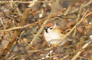 Eurasian tree sparrow (Полевой воробей)