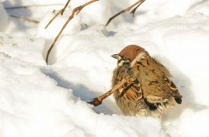 Eurasian tree sparrow (Полевой воробей) 2