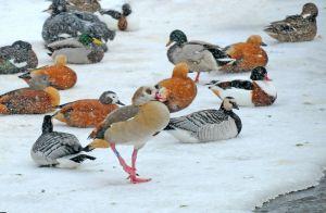Common Shelduck, Barnacle goose and Ruddy Shelduck