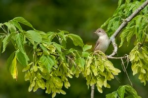 Whitethroat 2